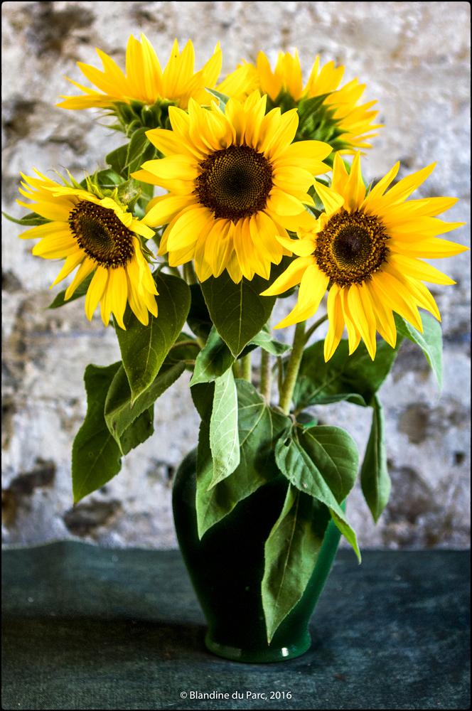 Tournesol  – Bio Fleur de Soleil – Photo © Blandine du Parc
