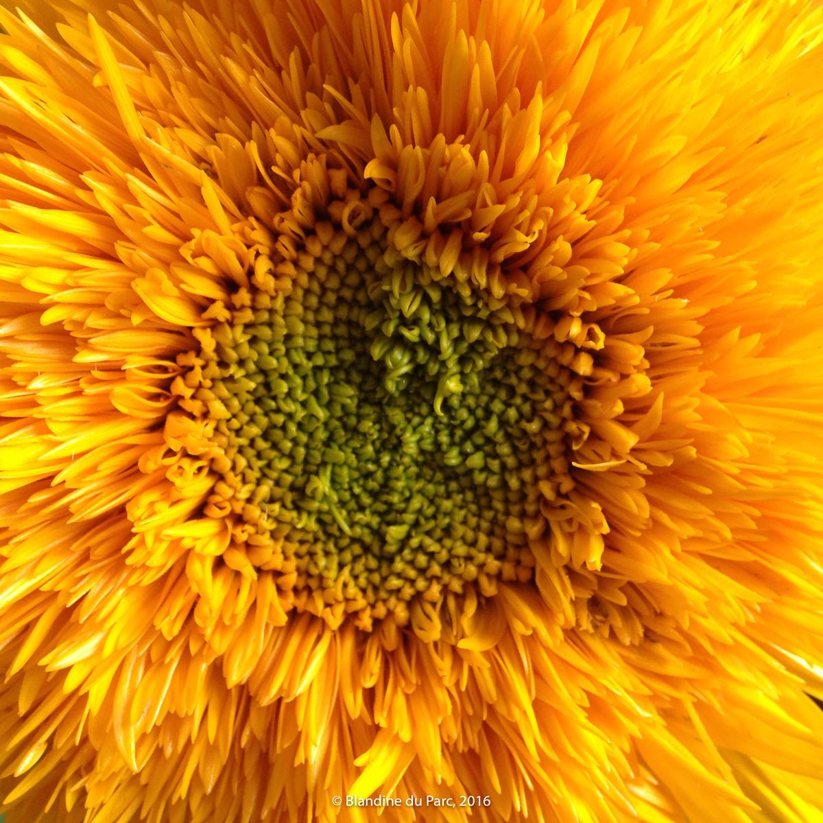 Tournesol – Bio Fleur de Soleil – Photo©Blandine du Parc